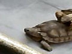 Tortugos sexys teniendo strapon and toys hardcore anal rico